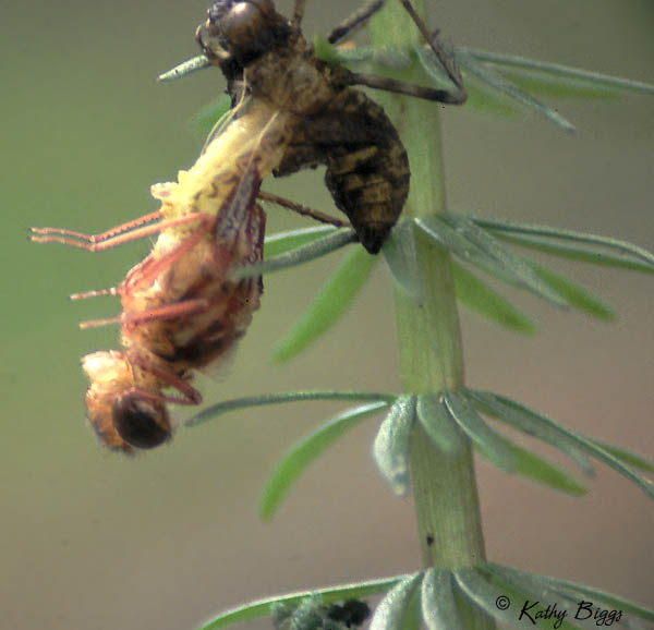 Photos depicting DRAGONFLY LIFE CYLCE including EMERGENCE SEQUENCE